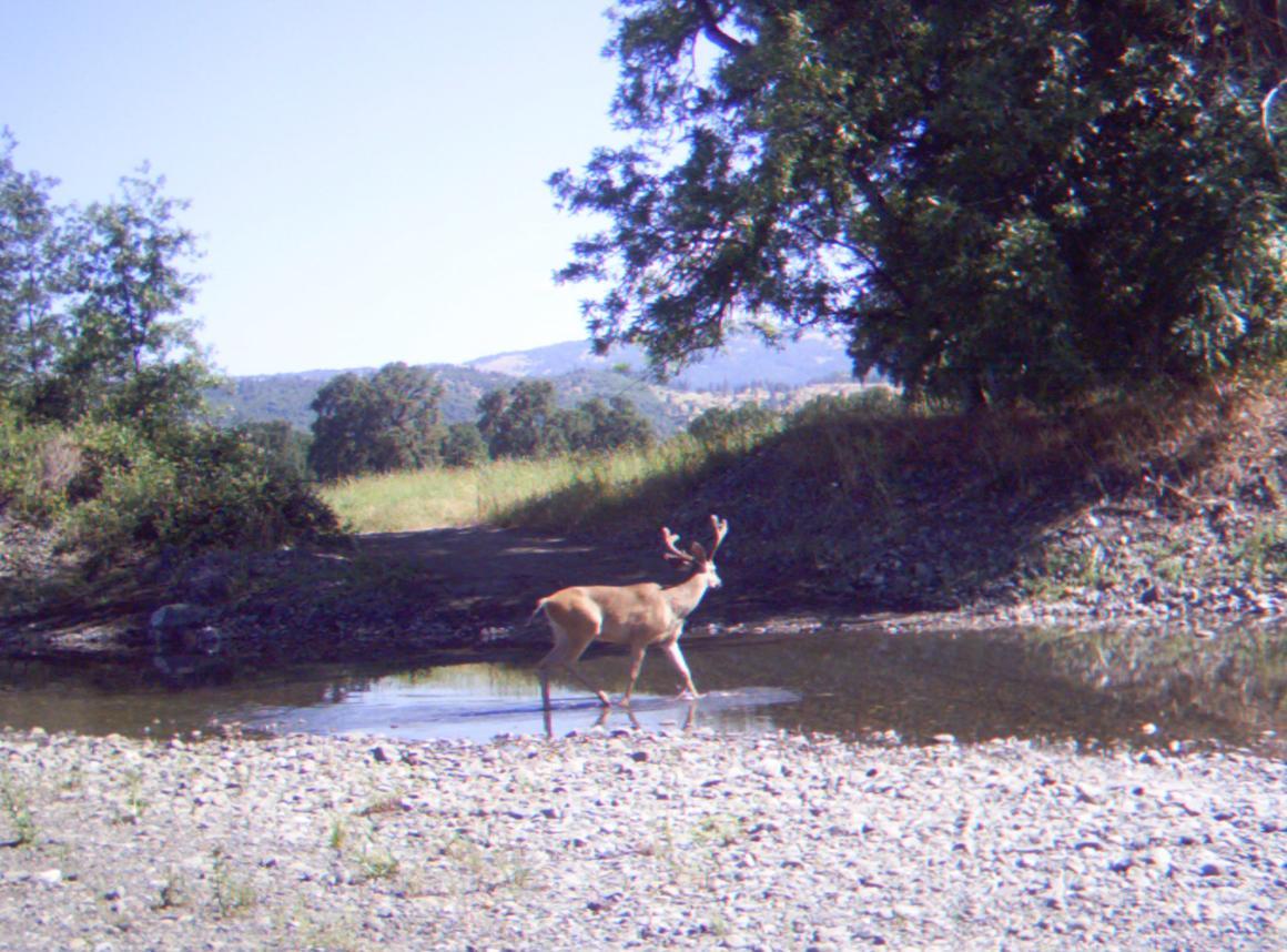 Deer near the creek