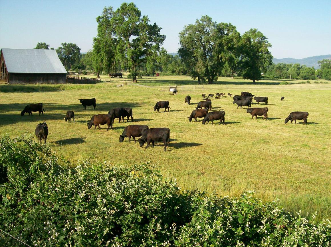 Cattle near the barn