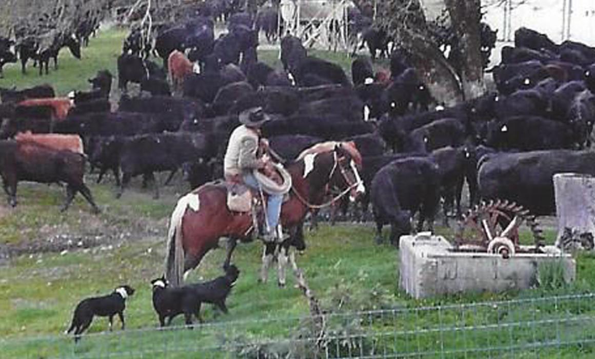 Cowboy on branding day