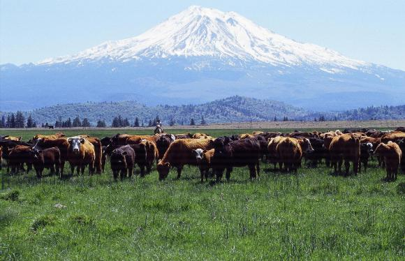 Cattle Ranch in view of Mt Shasta